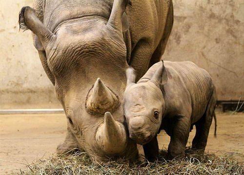 Rhino mum