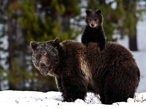 Grizzly mum