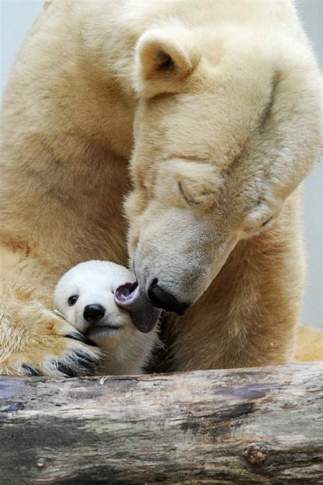 Polar bear mum